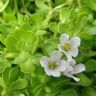 bacopa monnieri as a nootropic