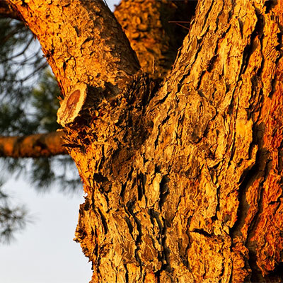 Maritime Pine Bark