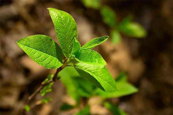 Clean Vegan Caffeine Supplements