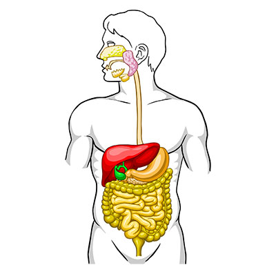 Prebiotics for Digestive Health